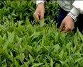 中国茶文化系列之茶叶种植生产【茶树的修剪与采摘】视频