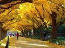 日本风光-东京明治神宫外苑的银杏树大道视频