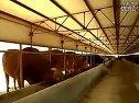 圈养肉牛养殖技术农村养牛技术视频