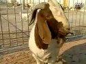 农业波尔山羊种公羊养殖技术(养羊技术)