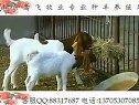 山羊养殖技术农村养殖业致富养羊技术