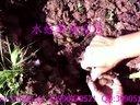 水蛭:水蛭(蚂蝗)挖取卵茧视频