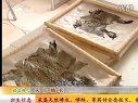 2013年最新蟾蜍养殖加工技术视频