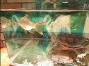 小鳄龟挑战大鱼视频