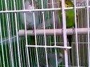 观赏鸟虎皮鹦鹉8视频