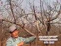 苹果树优质稳产高产管理技术讲座视频