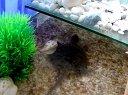 北美小鳄龟吃食视频