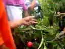 夏季桃树开心型的修剪3视频