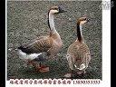 福建大雁养殖场视频