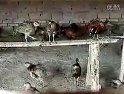 七彩山鸡养殖技术教材