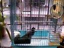 白文鸟与灰文鸟的戏水洗澡视频