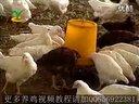 养鸡技术视频怎么养鸡