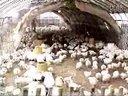 大棚养鸡技术-塑料大棚养鸡技术视频01