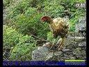 山鸡养殖技术视频-养鸡技术视频