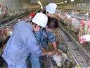 笼养鸡养殖技术视频-养鸡技术视频04