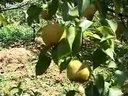 北方梨树优质高产栽培技术(二)视频