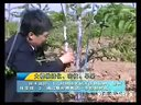 大樱桃矮化密植修剪技术视频