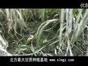 北方甘蔗种植技术,北方甘蔗种植基地视频 (1290播放)