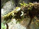 铁皮石斛种植技术,铁皮石斛功效,铁皮石斛种植,石斛分类 (630播放)