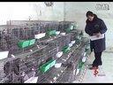 山东单县鹧鸪养殖专业基地华东珍禽乐园视频