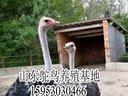 鸵鸟养殖基地-非洲鸵鸟鸸鹋养殖