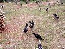 洮坪野鸡贵妃鸡养殖场