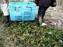 20121120放鳊鱼视频