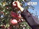 七岁苹果树卖果七八百--佐田氏视频