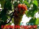 葡萄种植技术葡萄栽培技术视频