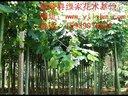 鄢陵苗木供应大叶女贞红叶碧桃价格视频