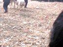 精彩激烈的斗羊大赛视频