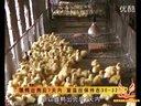 雏鸭的饲养管理视频