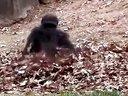 翻滚吧,大猩猩!【谷姐特搞队】
