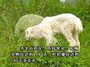 小尾寒羊188金宝博官方直营网养羊荟萃