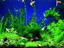 我的水族箱水草孔雀鱼-简单视频