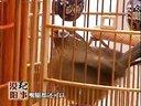阳江养鸟爱好者专题报道视频