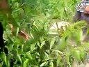 夏季桃树幼苗的修剪2视频