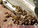 03_家庭蜜蜂养殖_蜜蜂养殖知识_蜜蜂养殖法_