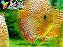 怎样区分七彩神仙鱼的公母视频