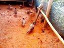 湖南长沙七彩山鸡养殖场提供种苗技术指导欢迎来电来场咨询