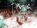 森林散放鸡优质土鸡生态放养鸡