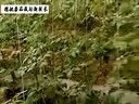 樱桃番茄种植技术视频