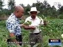 汉旺镇新开村引进新农作物--黄秋葵视频