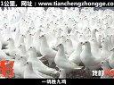 《我的养鸽之路》黑龙江客户讲述,天成鸽业出品,鸽子养殖视频