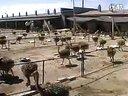 鸵鸟养殖技术-鸵鸟养殖-sdshtyz