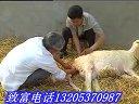 小尾寒羊肉羊�B殖��/�B羊技�g指�Ю��