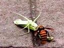 大黄蜂猎杀螳螂过程视频
