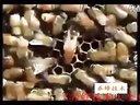 ★蜜蜂养殖视频★养蜂技术★中华蜜蜂养殖技术