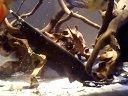 七彩神仙鱼混养埃及神仙和凤凰视频