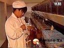【养殖协会】蛋鸡饲养新技术,养鸡技术大全